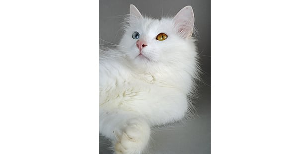 turc-de-van-turkish-van-couche