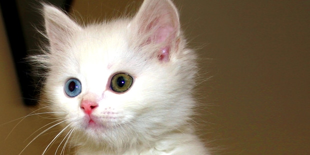 turc-de-van-turkish-van-chaton