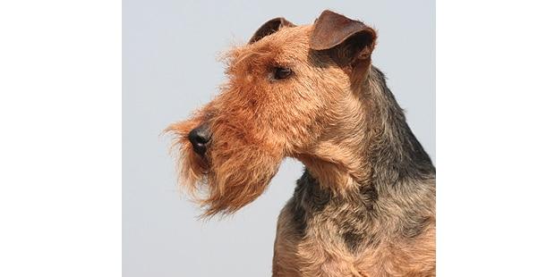 welsh-terrier-gallois-fox-portrait