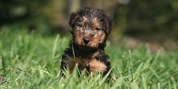 welsh-terrier-gallois-fox-chiot