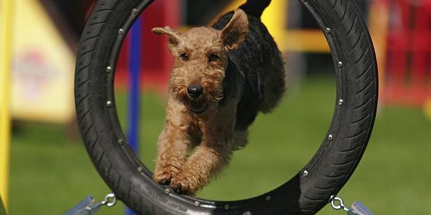 welsh-terrier-gallois-fox-agility