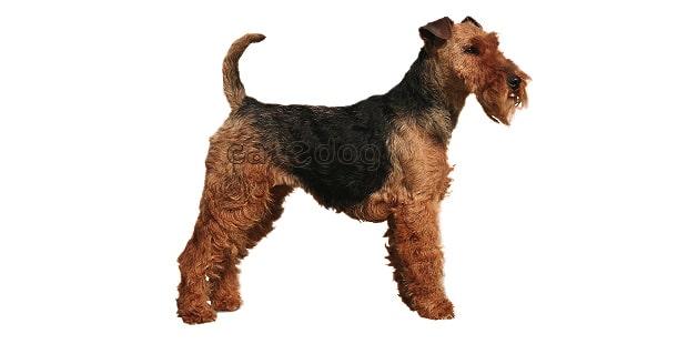 welsh-terrier-gallois-fox
