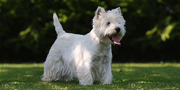 westie-west-highland-white-terrier-profil