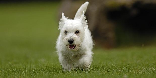 westie-west-highland-white-terrier-parc