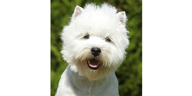 westie-west-highland-white-terrier-portrait