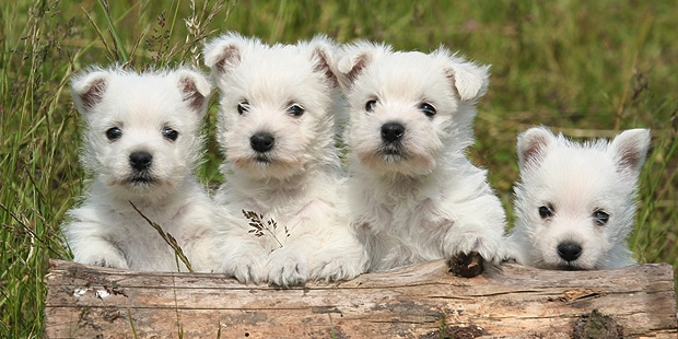 westie-west-highland-white-terrier-chiots