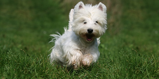 westie-west-highland-white-terrier-courir