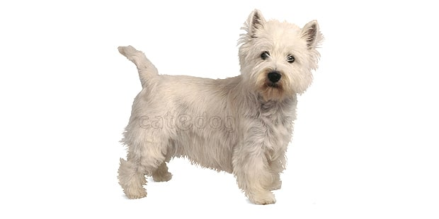 westie-west-highland-white-terrier