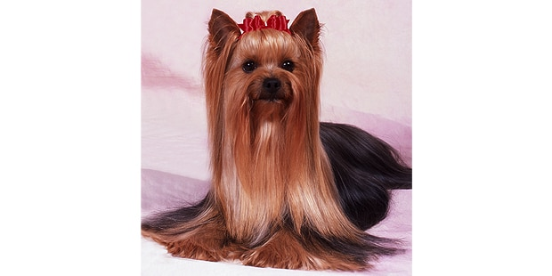 yorkshire-terrier-studio