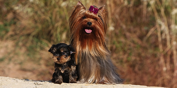 yorkshire-terrier-chienne-chiot-exterieur