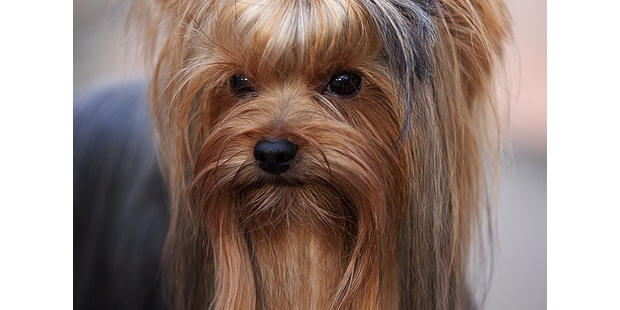 yorkshire-terrier-portrait