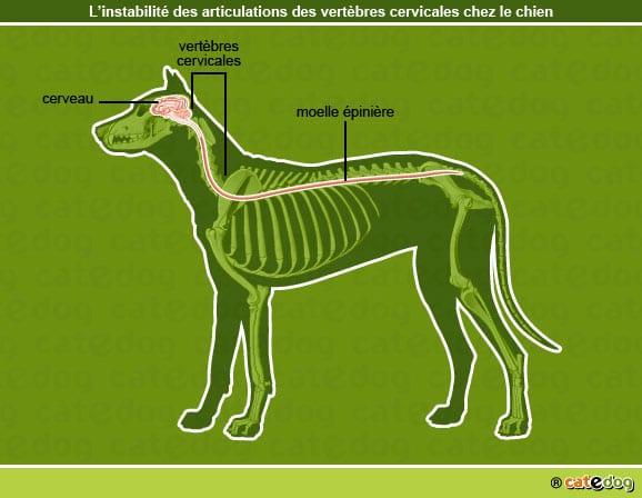 Instabilite_articulations_vertebres-cervicales-chien