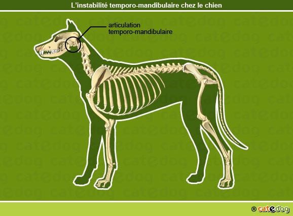 Instabilite_temporo-mandibulaire_chien