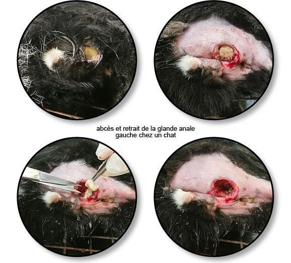 Infection et abcès d'une glande anale chez un chat