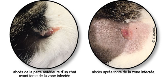 abces-pus-patte-chat