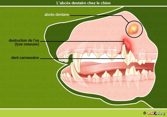 abces_dentaire_dent_chien
