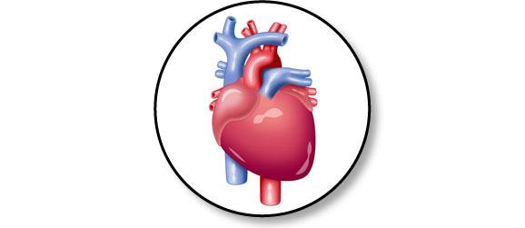 anatomie-cardiaque-coeur-chien
