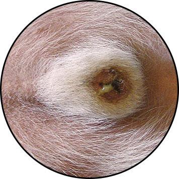 Balanoposthite du pénis chez le chien
