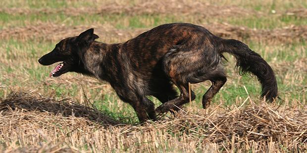 chien-berger-hollandais-hollandse-herdershond-courir