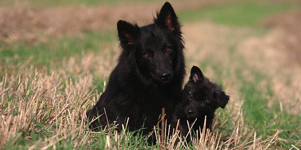 chien-berger-hollandais-hollandse-herdershond-chienne