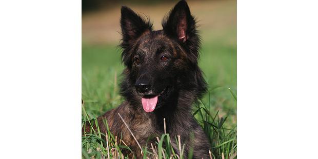 chien-berger-hollandais-hollandse-herdershond-portrait