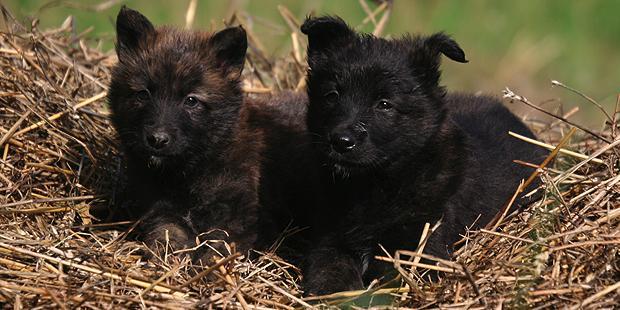 chien-berger-hollandais-hollandse-herdershond-chiots