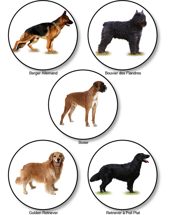 berger-allemand_bouvier-flandres_boxer_golden-retriever_retriever
