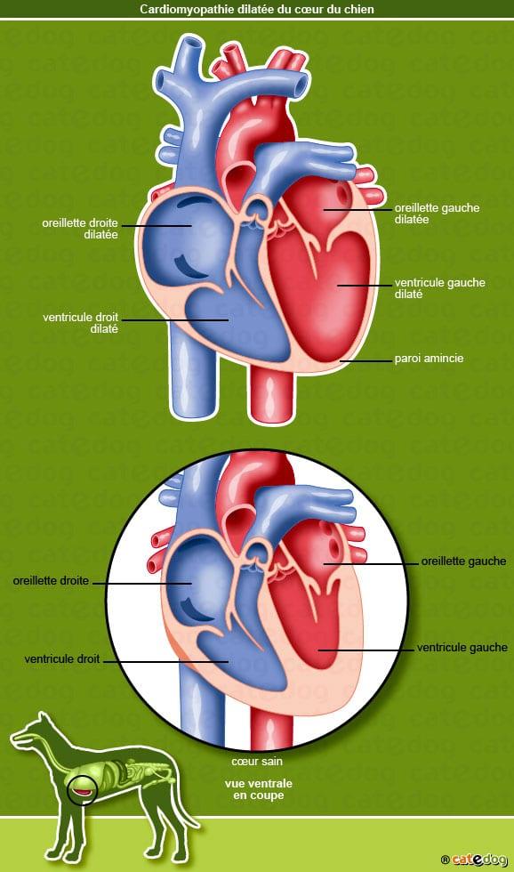 cardiomyopathie_dilatee_coeur_chien