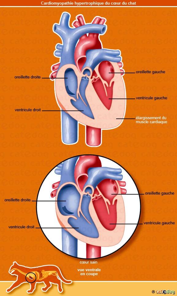 cardiomyopathie-hypertrophique_coeur_ventricule_oreillette_chat_©catedog.com