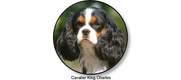 cavalier_king_charles