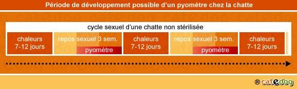 chaleurs-developpement-periode-pyometre-metrite-chatte
