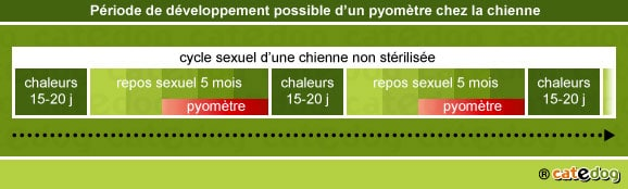 chaleurs-developpement-periode-pyometre-metrite-chienne