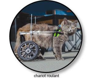 Chariot orthopédique pour le chat souffrant d'arthrose
