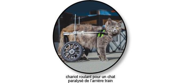 Chat paralysé équipé d'un chariot roulant