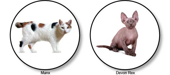 chats-manx-et-devon-rex