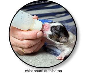 chiot-nourri-allaitement-mammite-lait-biberon