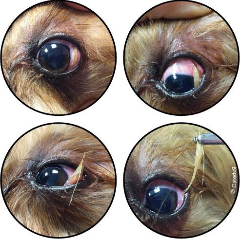Epillet du chien dans œil et conjonctivite