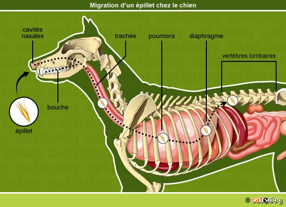 epillet-nez-poumon-diaphragme-vertebre-chien