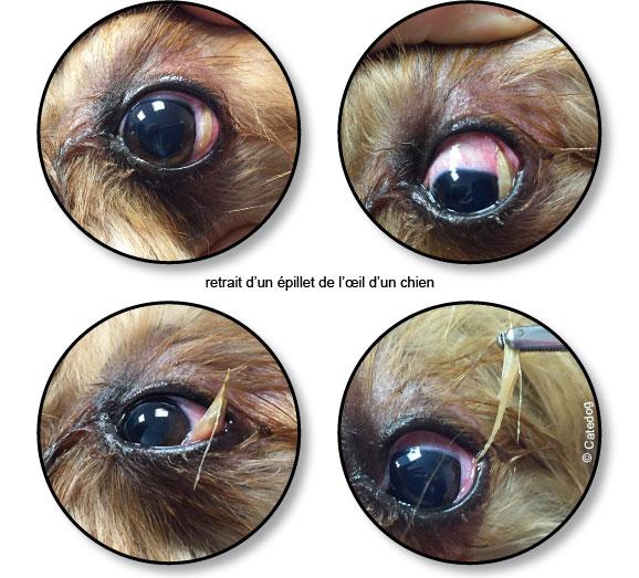 epillet-oeil-chien