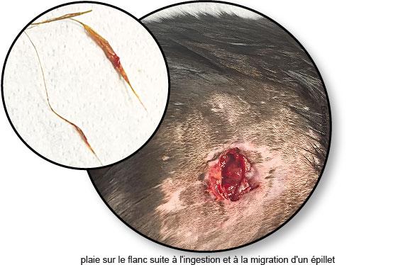 epillet-peau-flanc-ingestion-migration-chat