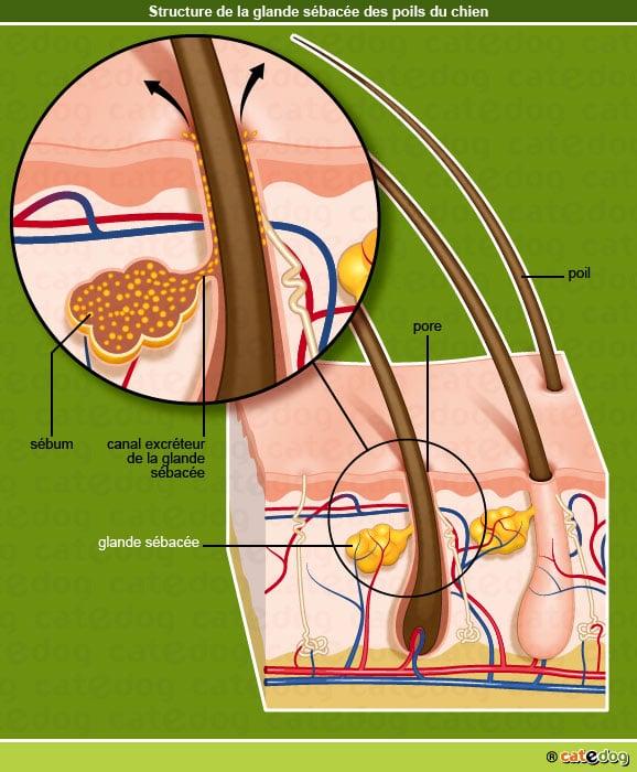 Glande sébacée chez le chien et tumeur des glandes sébacées