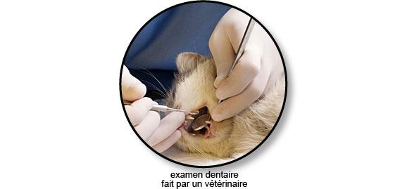 examen_dentaire_veterinaire_chat