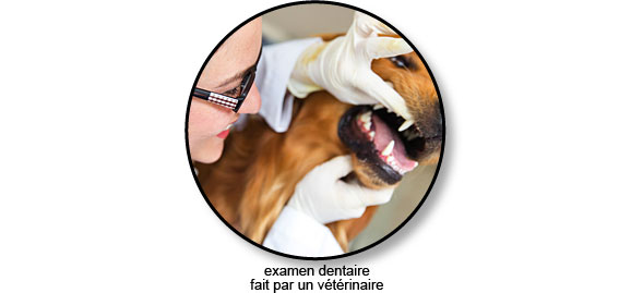 examen_dentaire_veterinaire_chien
