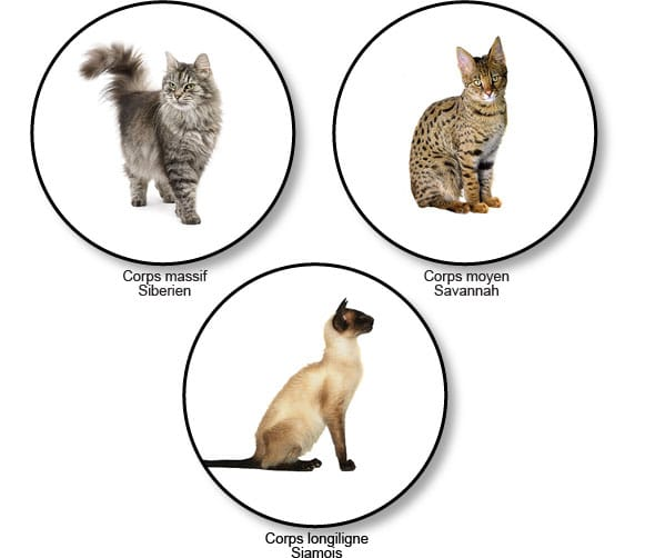 forme-du-corps-chats