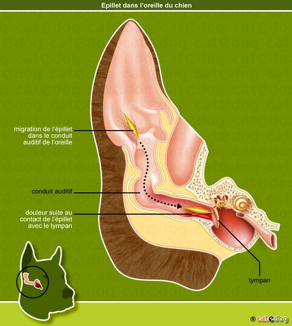 infection-epillet-oreille-chien