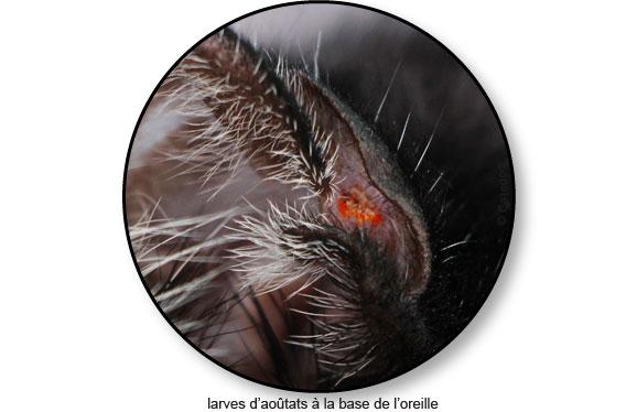 larve-aoutats-aoutat-chat-oreille