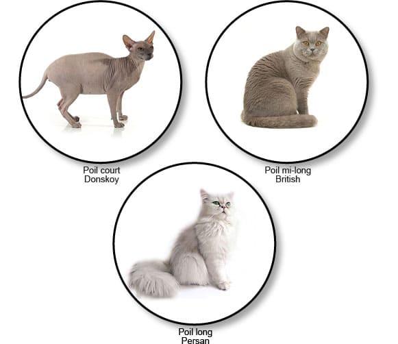 longueur-poils-chats