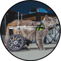 Chariot roulant pour un chat avec une luxation