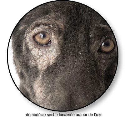 Démodécie autour de l'œil chez un chien