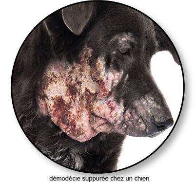 Maladie de peau et démodécie suppurée chez un chien